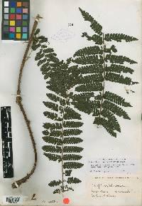 Image of Cyathea schiedeana