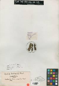Cyathea fulva image