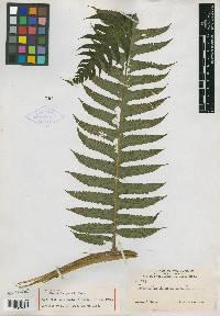 Cyathea mutica image