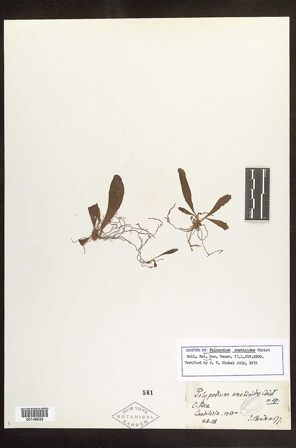Campyloneurum anetioides image