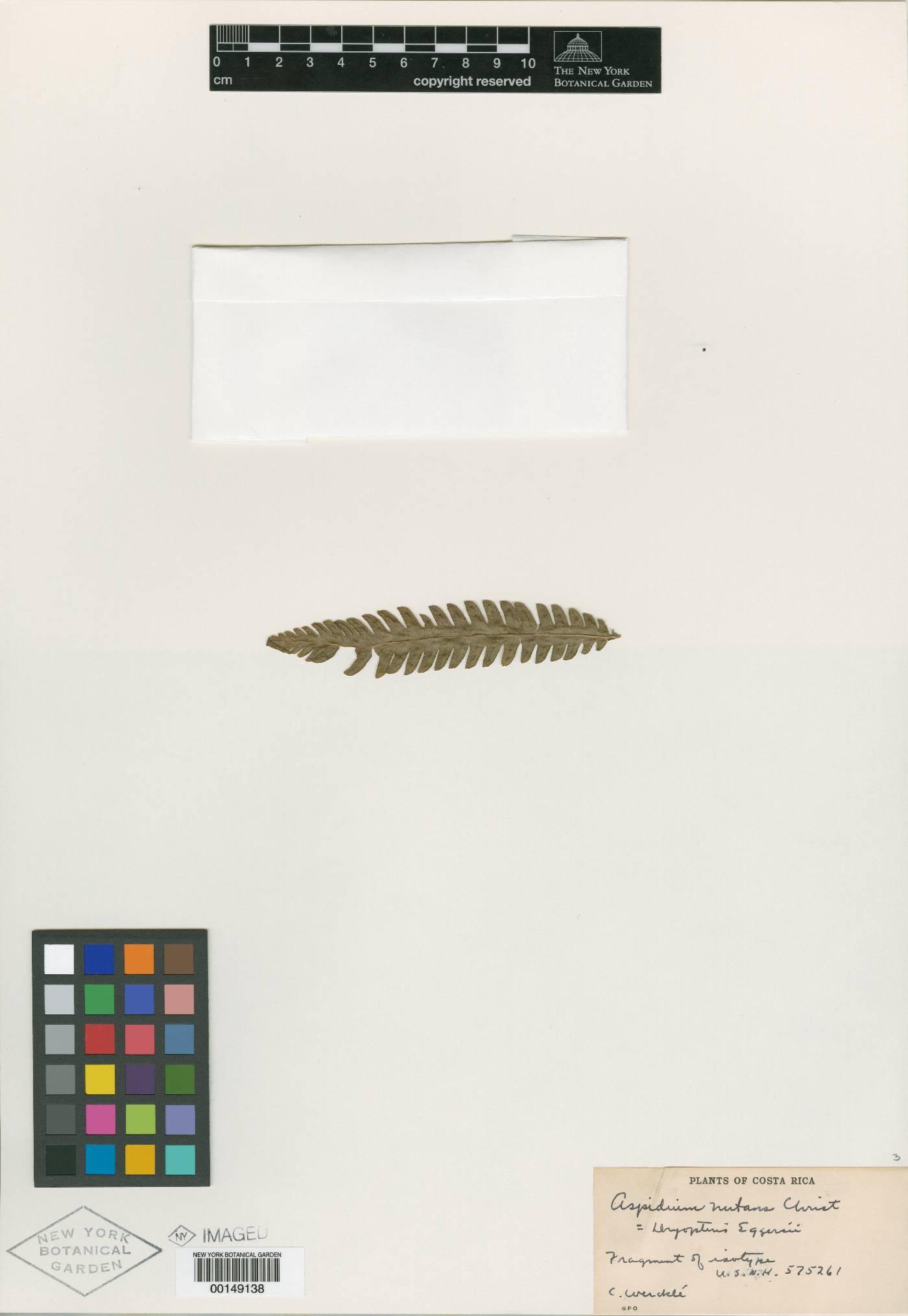 Goniopteris eggersii image