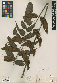 Image of Diplazium palmense