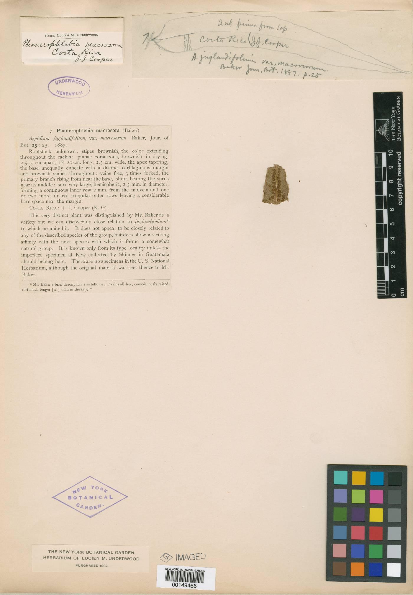 Phanerophlebia macrosora image