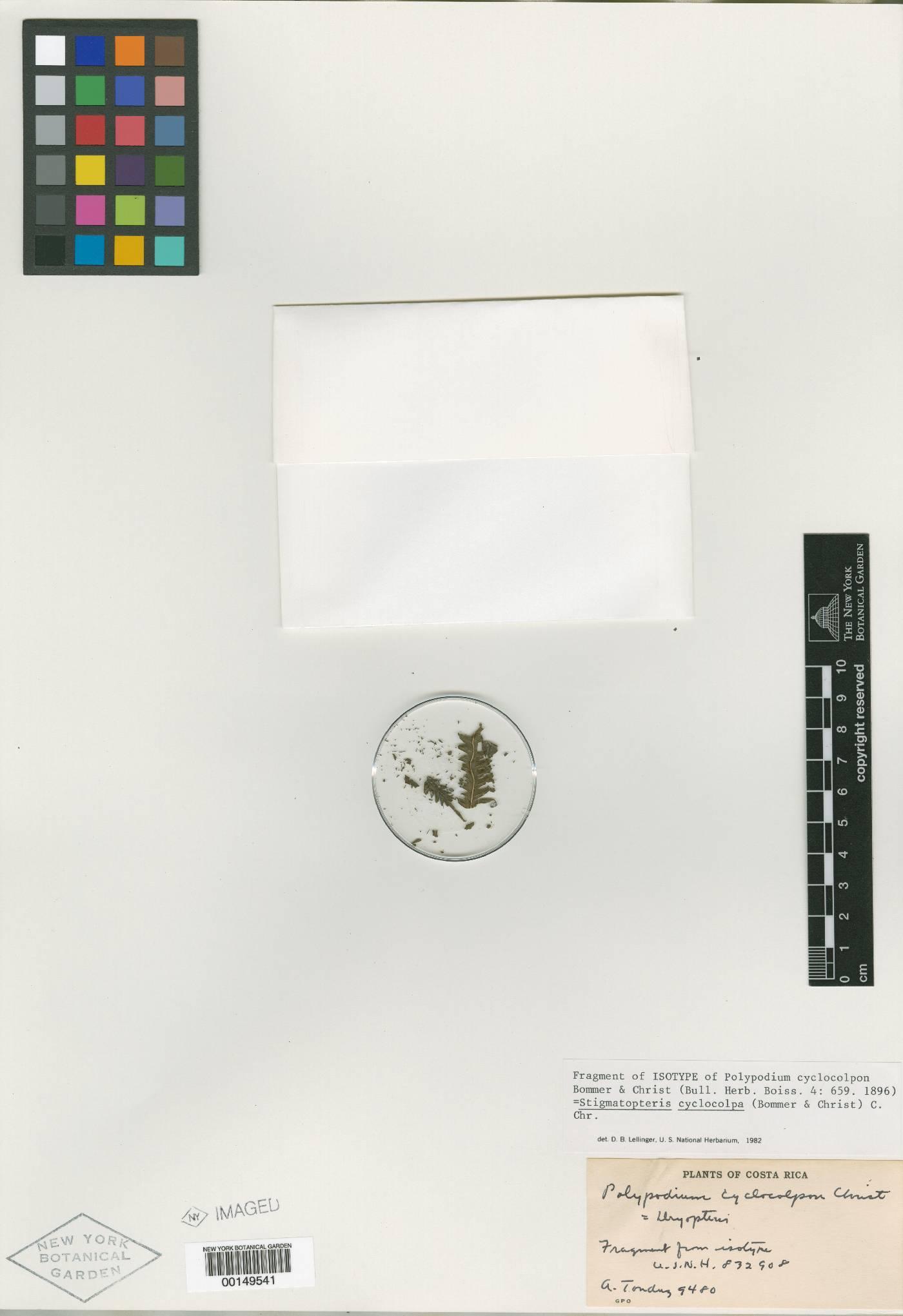 Stigmatopteris lechleri image