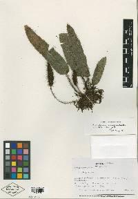Image of Elaphoglossum atrobarbatum