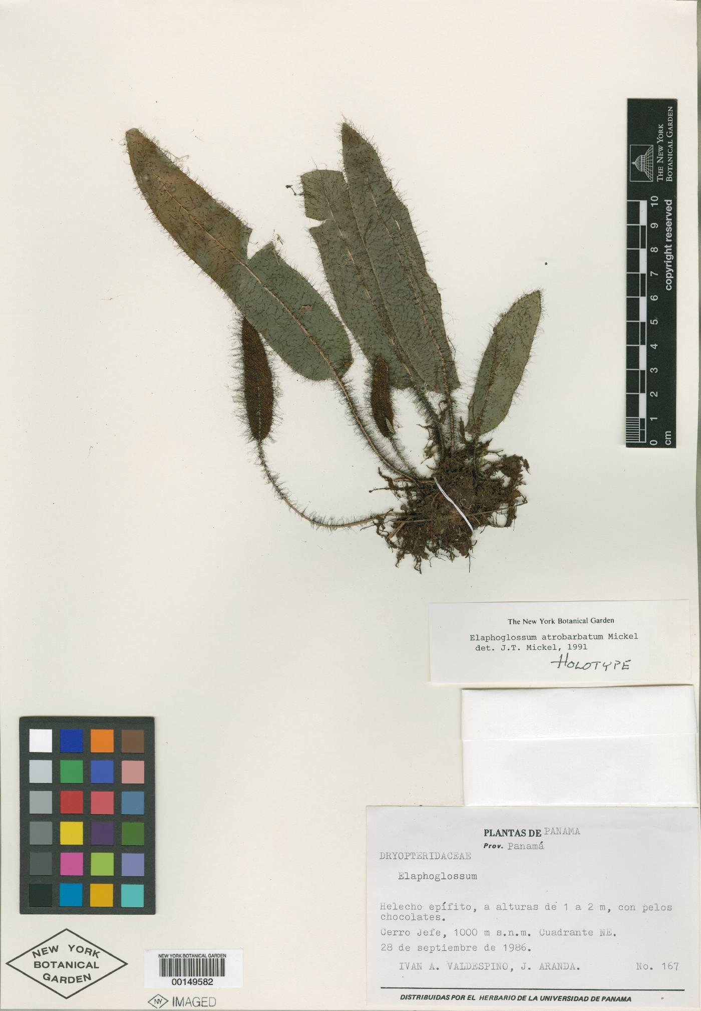 Elaphoglossum atrobarbatum image