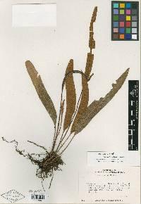 Image of Elaphoglossum brenesii