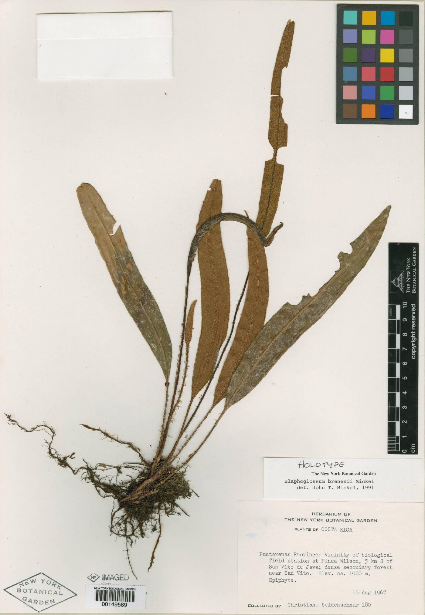 Elaphoglossum brenesii image
