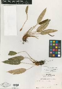 Image of Elaphoglossum caroliae
