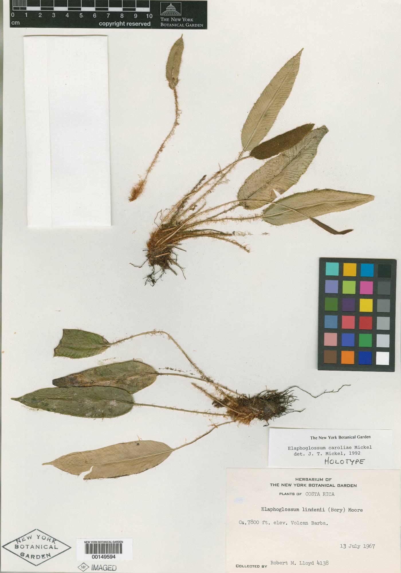 Elaphoglossum caroliae image