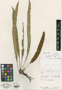 Elaphoglossum christianeae image