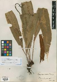 Elaphoglossum cismense image