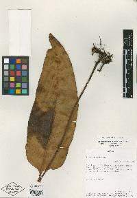 Elaphoglossum coriifolium image