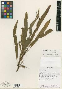 Elaphoglossum davidsei image