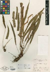 Image of Elaphoglossum eximiiforme
