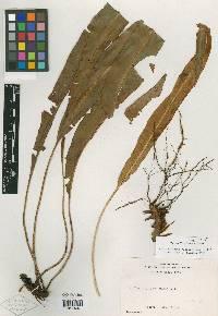 Image of Elaphoglossum gloeorrhizum