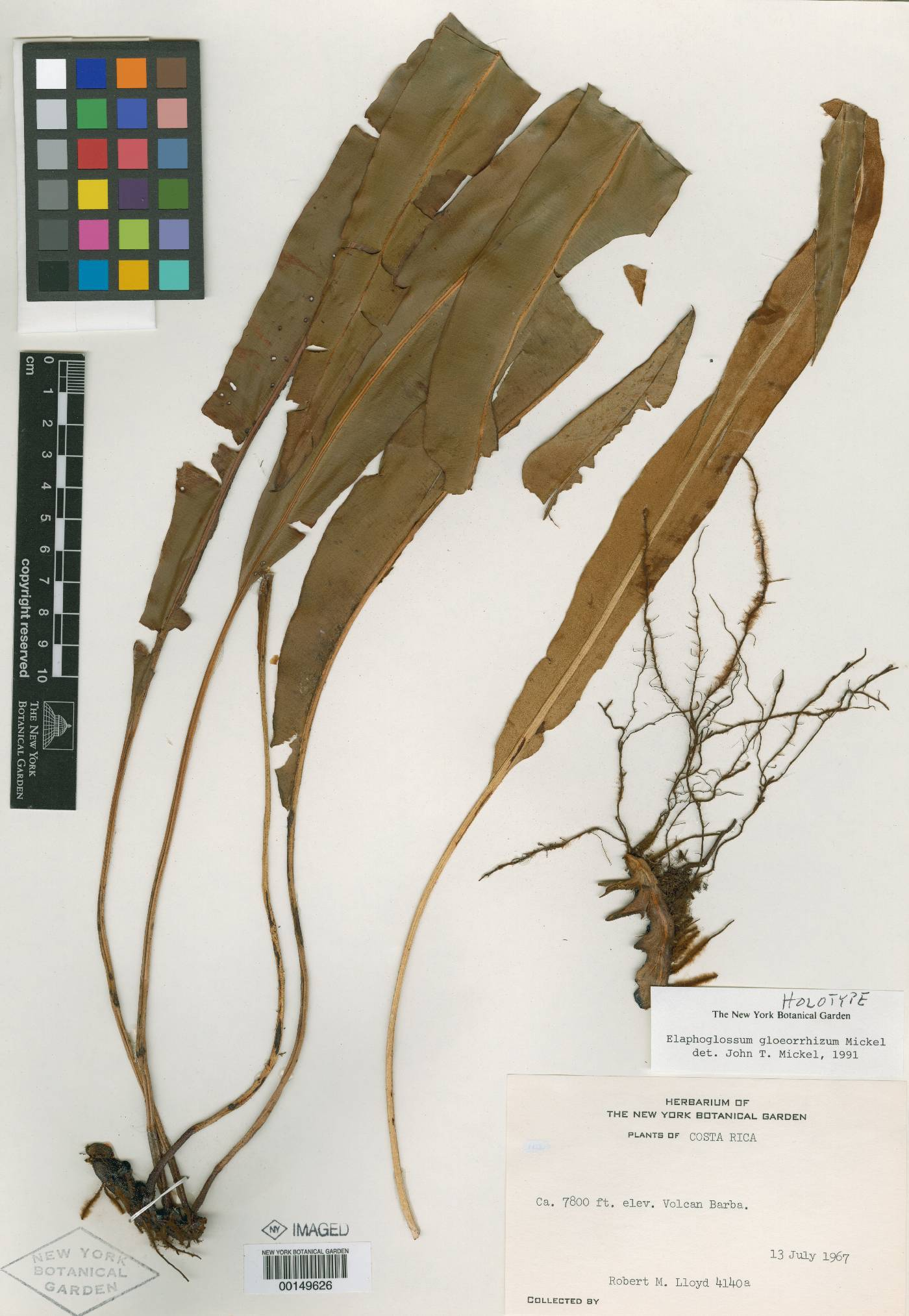 Elaphoglossum gloeorrhizum image