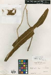 Elaphoglossum lankesteri image