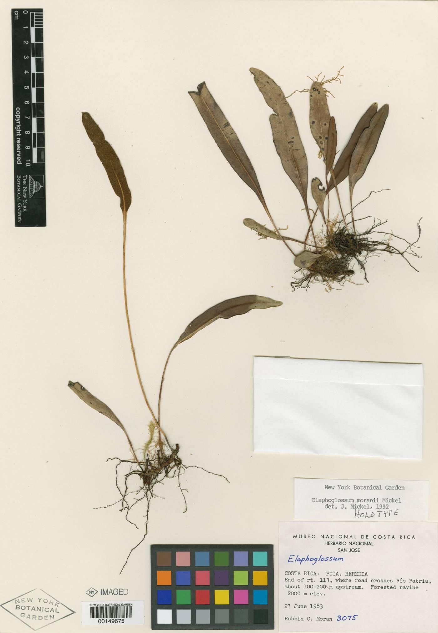 Elaphoglossum moranii image