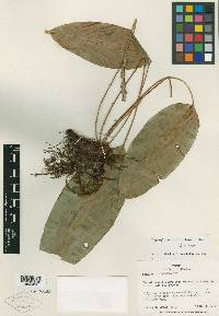 Elaphoglossum pallidiforme image