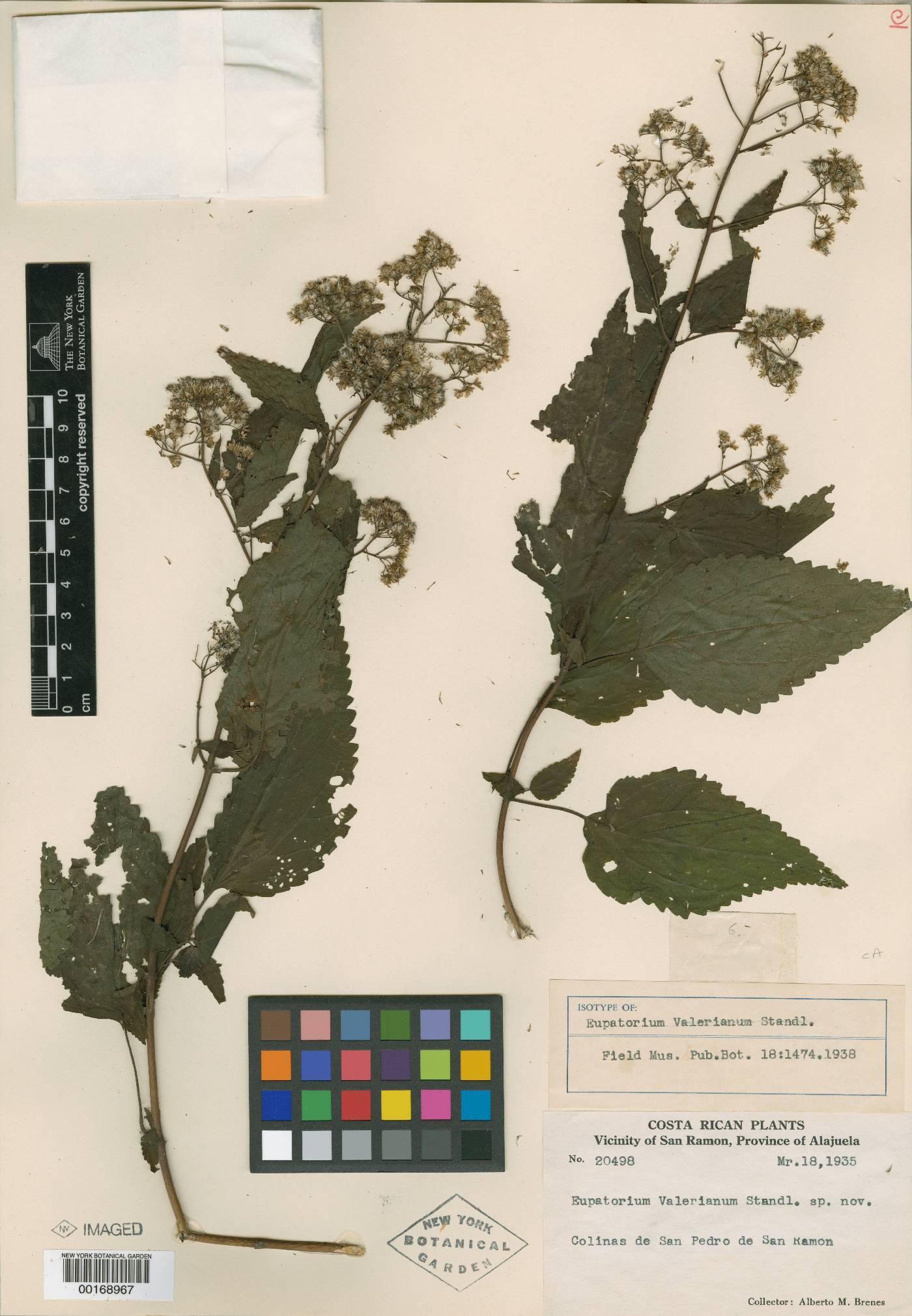 Fleischmannia hymenophylla image