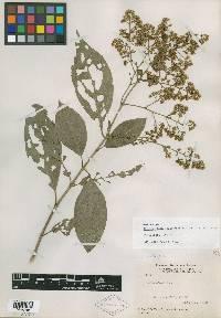 Koanophyllon panamensis image