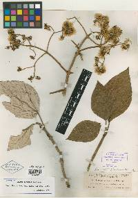 Sinclairia polyantha image