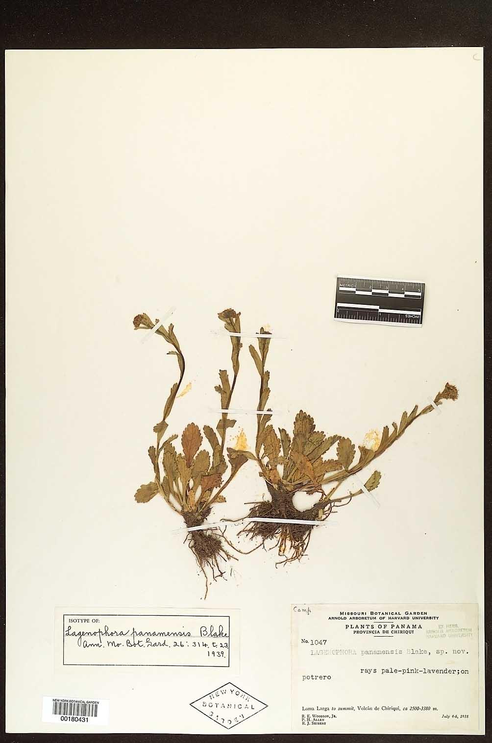 Lagenophora panamensis image