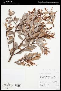 Vaccinium consanguineum image