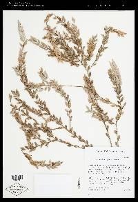 Themistoclesia smithiana image