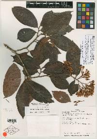 Ardisia subsessilifolia image