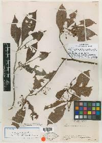 Image of Ardisia geniculata
