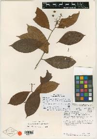 Image of Ardisia fruticosa