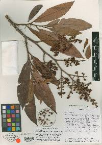 Image of Ardisia palmana