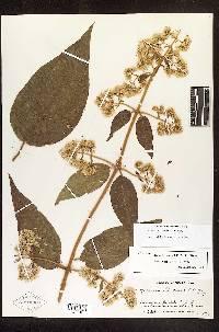 Image of Mikania banisteriae