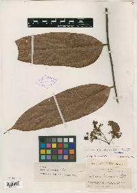 Theobroma bernoullii image
