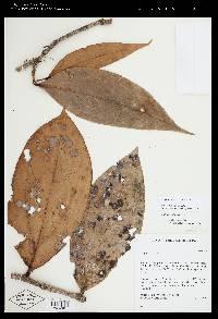 Satyria warszewiczii image
