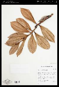 Cavendishia arizonensis image