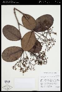 Alzatea verticillata image