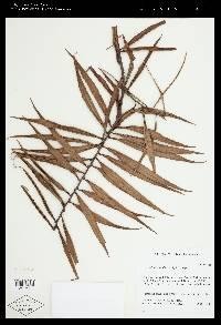 Cavendishia pseudostenophylla image