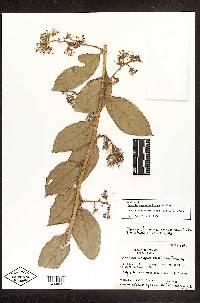 Dresslerothamnus angustiradiatus image