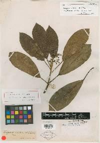 Oreopanax vestitus image