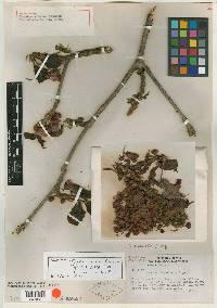 Topobea parasitica image