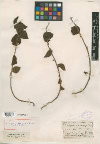 Image of Acalypha septemloba