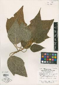 Image of Croton speciosus