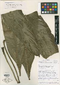 Philodendron cretosum image