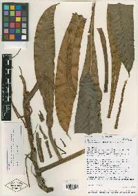 Philodendron dolichophyllum image