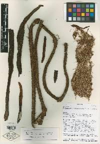 Philodendron squamicaule image