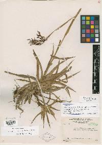 Luzula denticulata image