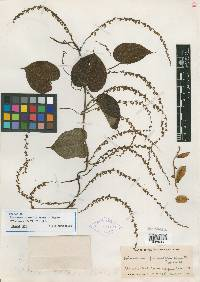 Image of Dioscorea cymosula